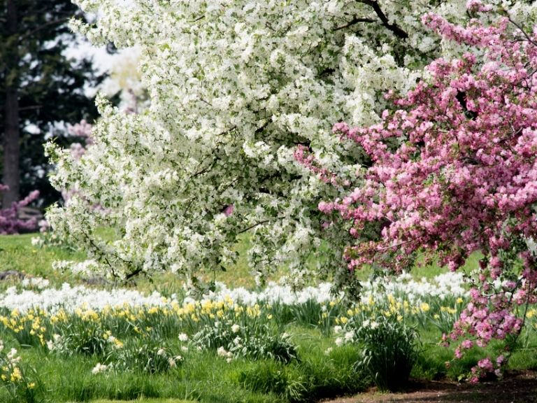 pink and white blossoms on large tree on sunny day in a field