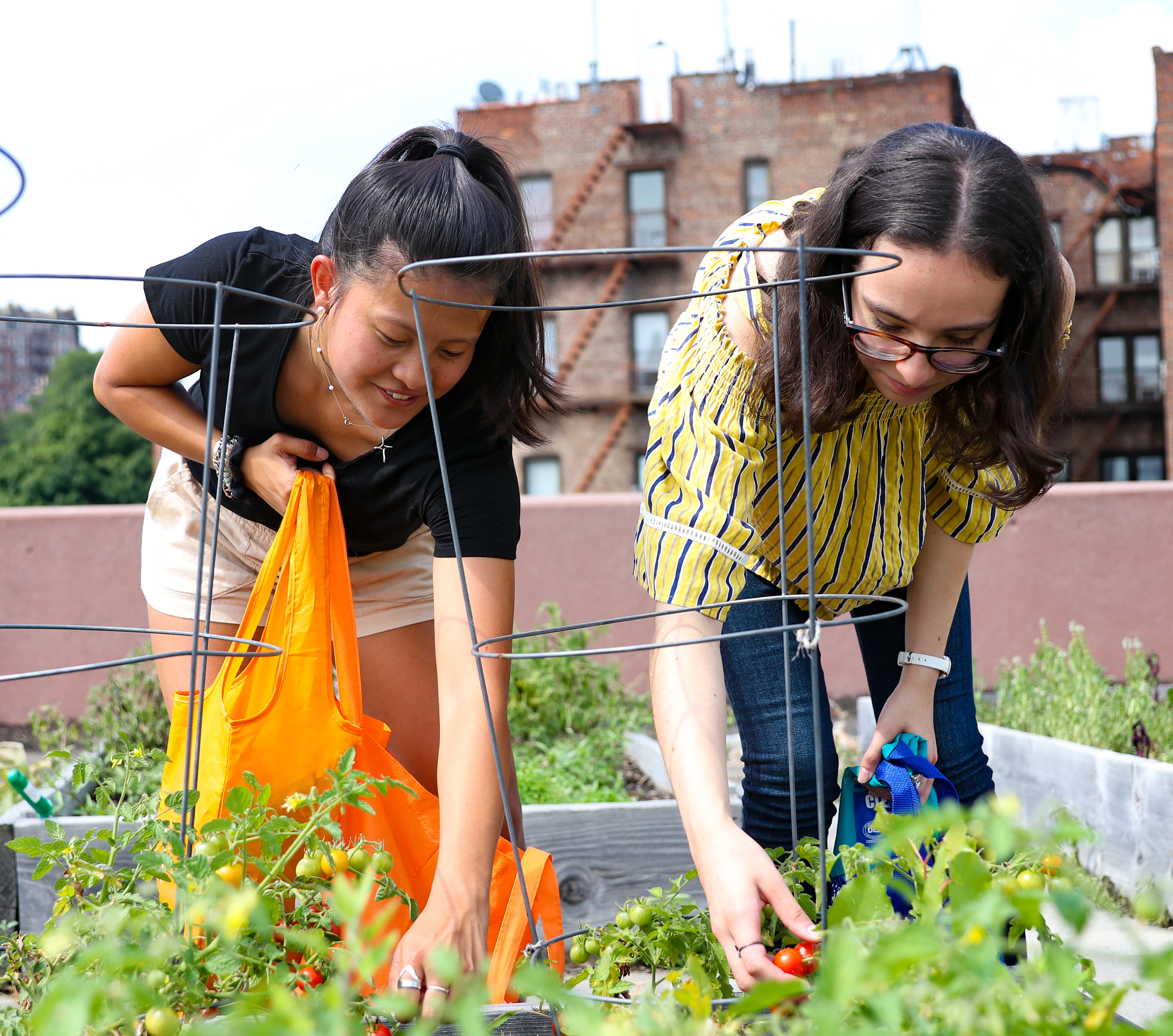 two young woman pick tomatoes off of plant on manhattan college rooftop garden